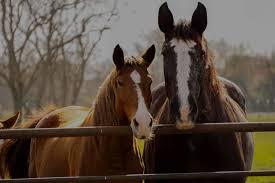 mustang adoptions hfh adoptions habitat for horses
