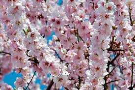 trees with pink flowers free photo tree japanese cherry trees flower tree pink flowers