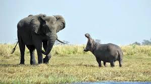 med si鑒e social hippopotamus si鑒e social 28 images flodhest i sk 230 nderi