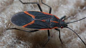What Are The Red Bugs On Concrete by Box Elder Bug U2013 North American Insects U0026 Spiders
