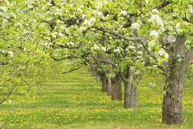 cross pollination pear trees which pear trees pollinate each other