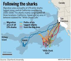 San Francisco Ca Map by Great White Sharks At Times Enter San Francisco Bay U2013 The Mercury News
