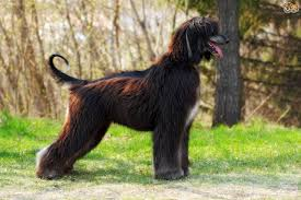 afghan hound afghan hound or borzoi which is best for you pets4homes