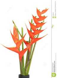 birds of paradise flower bird of paradise flowers stock photo image 48482337