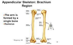 Appendicular Skeleton Worksheet Appendicular Region Images Reverse Search