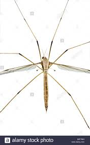 crane fly order and family the best crane 2017
