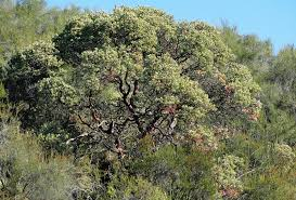 manzanita trees the manzanita california plant society