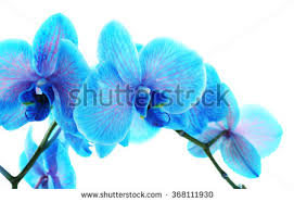 Blue Orchid Flower - beautiful blue orchid flower isolated on stock photo 381851074