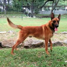 belgian shepherd k9 sold dogs worldwide canine inc