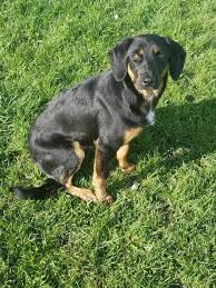 bluetick coonhound jack russell mix animal browse