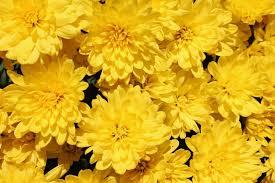 yellow flowers yellow flowers garden free photo on pixabay
