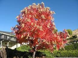 sourwood tree sale 80 savings buy grower direct