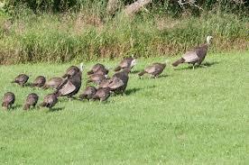 Vermont wildlife images Vermont turkey brood survey starts jpg