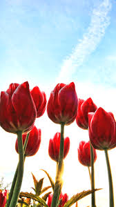 wallpaper bunga tulip flower wallpapers for android free download com wiz