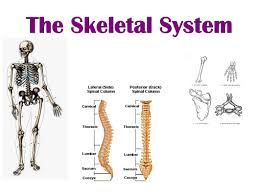 Anatomy And Physiology Skeletal System Test The Skeletal System Ppt Video Online Download