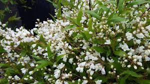Shrub Small White Flowers - unique landscape plants at avant gardening u0027s plant sale avant