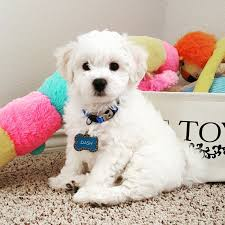 bichon frise dog breeders world class bichons bichon frise puppies for sale in north dallas tx
