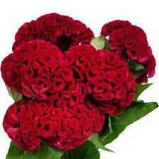 coxcomb flower coxcomb jpg