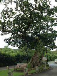 meavy s oak shortlisted for national tree of the year