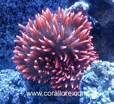 rose bubble tip anemone care corallore com