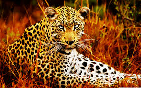 beautiful tigers hd wallpapers free wallpapers