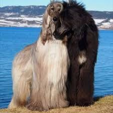 afghan hound breeders victoria afghan hound afghan hound pinterest afghan hound afghans