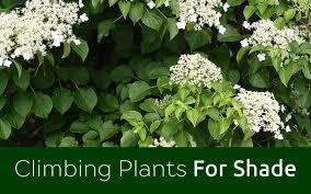 Climbing Plants For North Facing Walls - shade garden the best climbing plants for shady garden spots