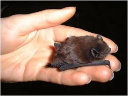 small bat nz longtail bat monitoring