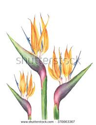 bird of paradise flower bird of paradise flower stock images royalty free images