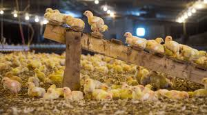 Caring For Backyard Chickens by Starting A Chicken Farm The Organic Way Guidelines For Raising