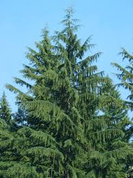 pyramidalis arborvitae thuja occidentalis u0027pyramidalis u0027 full