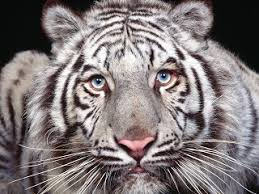 white tiger the animals biography