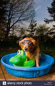 a golden retriever in a pool with a swim mask and a floating toy