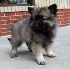 american eskimo dog vs keeshond keeshond vs pomeranian dog breeds comparison dogs pinterest