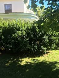 hedge trim shrubs manchester nh a landscaping