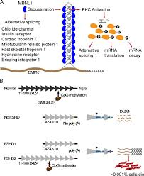 cellular and molecular mechanisms underlying muscular dystrophy jcb