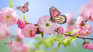 pink butterfly on the blossom trees hd wallpaper wallpaper