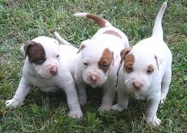 american pitbull terrier natural ears apbt puppies k9 research lab