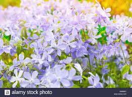 summer flowers background phlox divaricata wild blue woodland