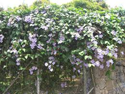 51 best fl vines images on pinterest garden ideas backyard