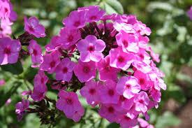 phlox flower phlox flower garden phlox