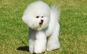 bichon frise dog breeders bichon frise puppies breed information u0026 puppies for sale