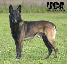 belgian malinois markings belgian malinois breed information and pictures united canine