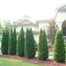 italian cypress privacy trees italian cypress trees and growing