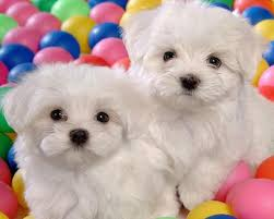 bichon frise 4 months old bichon frise wallpapers android apps on google play