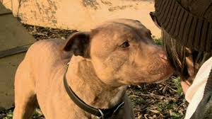 american pitbull terrier in uk death row dogs owners fight to keep pitbull types alive bbc news
