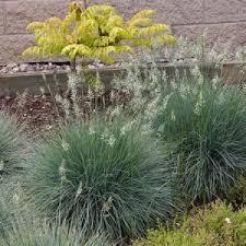 ornamental grass product plant type breezy hill nursery