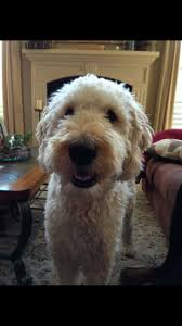 35 best goldendoodle haircuts images on pinterest goldendoodle