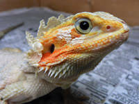 complete bearded dragon care sheet tips guidelines u0026