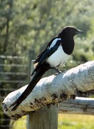 Magpie Birds In Backyards List Of Birds Of British Columbia Wikipedia